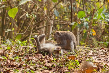 One macaque monkey grooming another at the Monkey Forest Sanctuary in Ubud, Bali, Indonesia