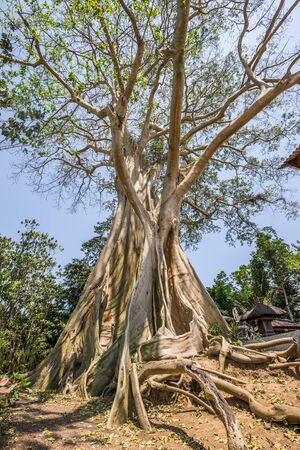 Large 500 year old ancient Banyan tree with a blue sky in Rumah Desa, Bali, Indonesia Stock Photo