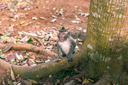 A macaque monkey next to a tree with some food in its hand at the Monkey Forest Sanctuary in Ubud, Bali, Indonesia