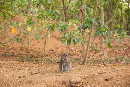 A macaque monkey sat alone at the Monkey Forest Sanctuary in Ubud, Bali, Indonesia