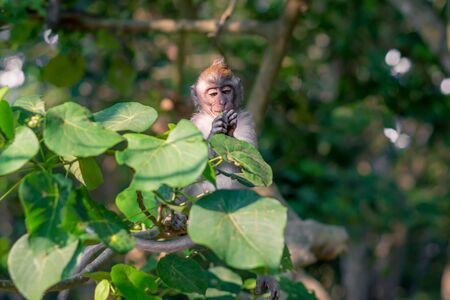A young monkey focusing on something in its hand at the Monkey Forest Sanctuary in Ubud, Bali, Indonesia