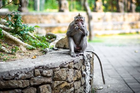 A long-tailed macaque monkey sat on a wall eating at the monkey forest in Ubud, Bali, Indonesia
