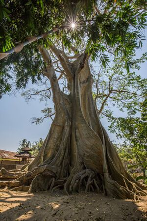 Large 500 year old ancient Banyan tree with a blue sky and sun glare in Rumah Desa, Bali, Indonesia