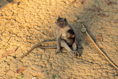 A macaque monkey with a baby macaque at a Monkey Forest Sanctuary in Ubud, Bali, Indonesia Stock Photo