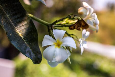 Plumeria Alba (also know as kamboja or jepun), a flower associated with Balinese culture Stock Photo