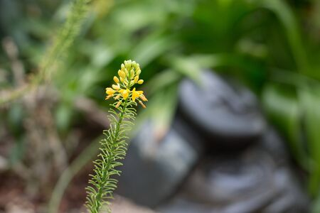Yellow spider flower, also known as Cleome hassleriana standing upright in the Singapore, Asia