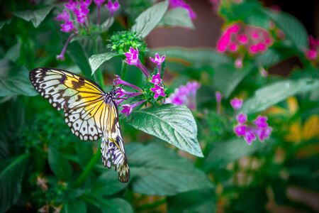 Top view of a black and yellow Idea leuconoe butterfly, also known as the paper kite, rice paper or large tree nymph drinking nectar from a purple flower Stock Photo