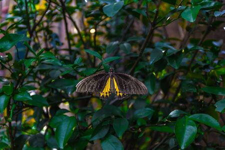 Black and yellow Troides Helena butterfly also known as the common birdwing and belonging to the family Papilionidae resting on green leaves in a garden
