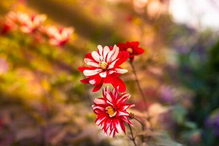Red and White Dahlia Jamaica flowers, also known as Dahlia or Decorative Dahlia flowers