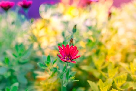 A blooming Zion Red African Daisy, known as Osteospermum ecklonis Serenity, with a blurry green and yellow background Stock Photo