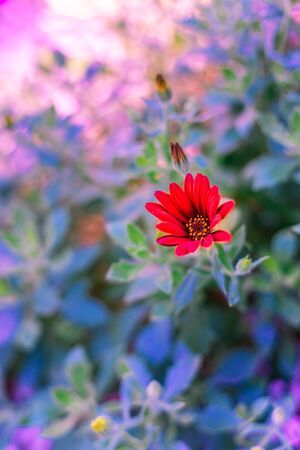 A blooming Zion Red African Daisy, known as Osteospermum ecklonis Serenity, with other unbloomed buds and a blurry purple and green background