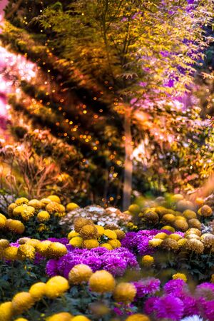 Yellow and purple Chrysanthemum flowers, also known as mums or chrysanths, with a tree and creative mood lighting in the background