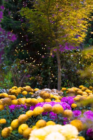 Yellow and purple Chrysanthemum flowers, also known as mums or chrysanths, with a tree and creative fairy lights in the background