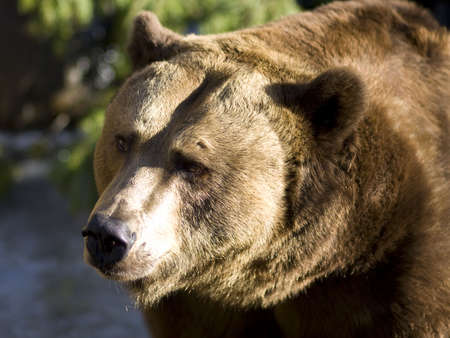 Brown bear close up portrait in the sun photo