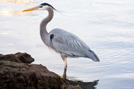 heron: Beautiful grey heron (Ardea cinerea) portrait at the beach