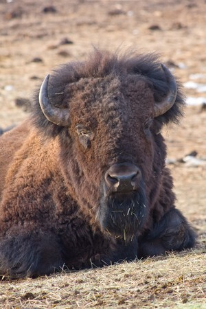 cusp: American bison in the rocky mountains, colorado, usa
