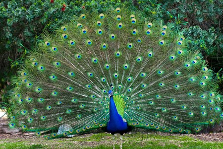 peacock eye: Beautiful indian peacock with fully fanned tail