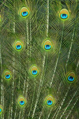 plummage: Cerrar de ojos de plumas de pavo real coloridos