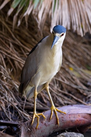 Beautiful Black-Crowned Night Heron (Nycticorax nycticorax) looking for fish photo