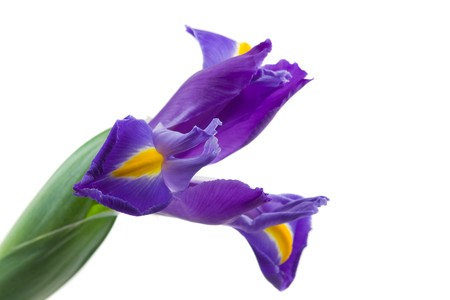 iridaceae: Beautiful Blue English Iris (Iridaceae Iris latifolia) isolated on white background