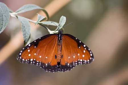 danaus: Queen butterfly (Danaus gilippus) butterfly resting on a leaf