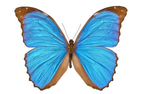 morpho menelaus: Azul mariposa de Morpho Menelaus Morpho azul (Morpho menelaus) aislado en fondo blanco Foto de archivo