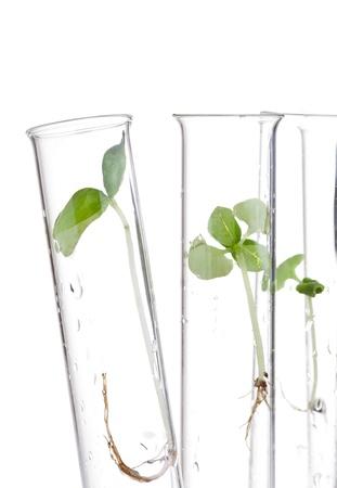 probeta: Planta modelo de plántulas en tubos de ensayo sobre aislado sobre fondo blanco Foto de archivo