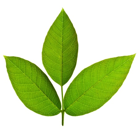 Beautiful walnut tree leaves isolated on white background photo