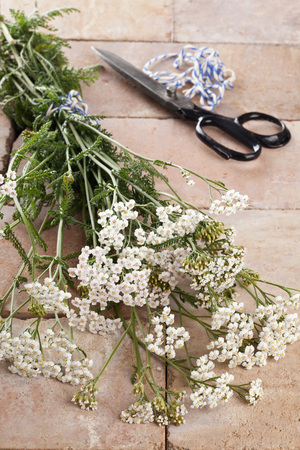 Freshly cut silver milfoil (Achillea Millfolium), a medicinal herb, is being prepared for drying photo