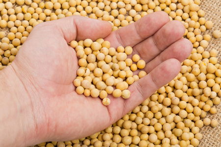 checking ingredients: Hand holding dried soybean sample over soybean pile