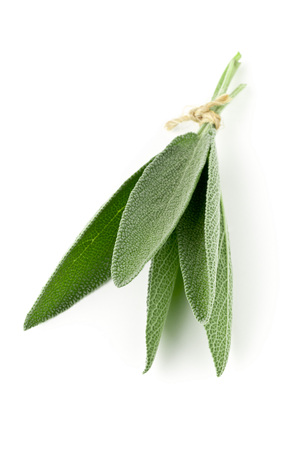 Bundled fresh harvested organic sage leaves over white background