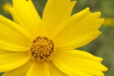 cav: chrysanthemum(Cosmos bipinnatus Cav) close up in summer garden