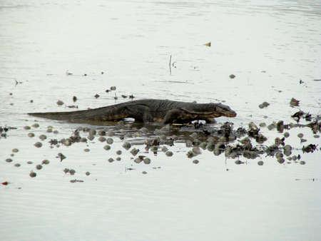 salvator: Malayan Water Monitor Lizard (Varanus salvator) at Sungei Buloh Wetland Reserve, Singapore