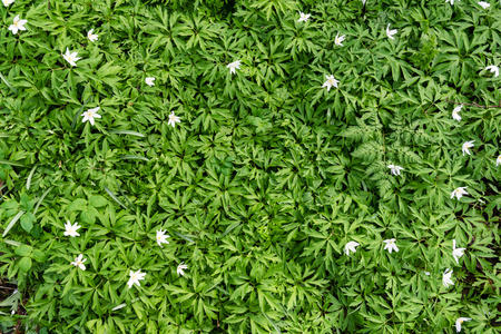 This is a picture a background of mostly green leaves with a scattering of small white flowers. This was taken of a forest floor in springtime