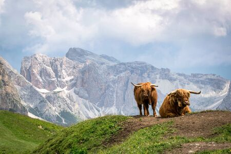 This is longhorned cattle grazing in an Alpine meadow in the Italian Alps