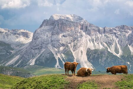 Cattle in the Italian Dolomites of the Alp Mountains.  This was taken on Seceda