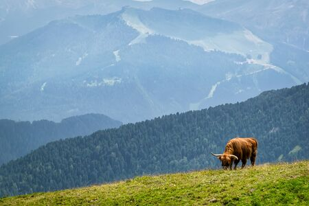 A single long horned cow crazing grass on the side of an Alpine mountain in Italy 写真素材