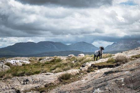 Sheep grasing in the mountains of Connemara Ireland