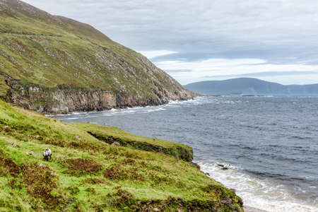 A sheep eating grass over looking Keem Bay on Achill lsland