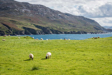 A herd of sheep grazing in a field on the wild coast of County Donegal in Ireland Stock fotó