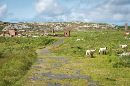 Sheep grasing at the  ruins of Lenan Head fort on the north coast of County Donegal Ireland.  It was used to guard Lough Swilly Stock fotó