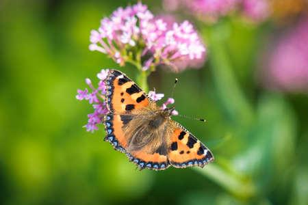 A Small Tortoiseshell Butterfly feeding on flower nectar. this was teken in late summer in Ireland