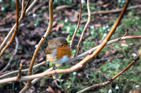 Red Robin Perching on a Branch in Ireland