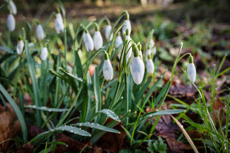 Winter Snowdrops blooming in a forest in Ireland