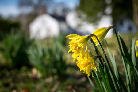 Daffodils blooming in the spring sunlight in Ireland
