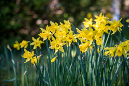 Many Daffodils blooming in the spring sunlight in Ireland