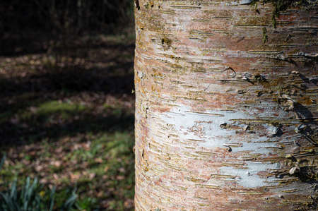 Close up image of sunlight hitting the trunk of a birch tree in a forest in Ireland
