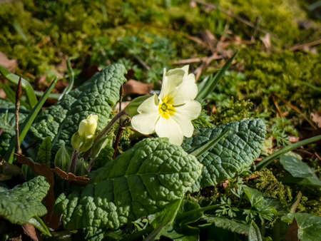 Primula vulgaris or Primrose flowwering in early spring in Ireland Stock fotó