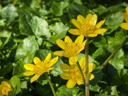 Ficaria verna wild flower also known as Lesser Celandine, pilewort or fig buttercup Stock fotó