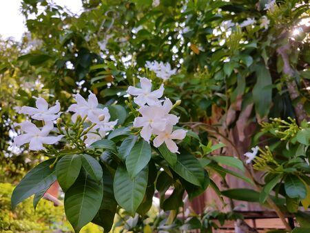 Gardenia flower on tree